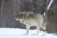 Un canis lupus del lupo comune che sta nella neve di inverno Fotografia Stock