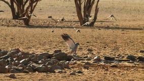 Un canorus pallido di Melierax dell'astore salmodiare che cerca nella savanna, parco nazionale di Amboseli, Kenya fotografia stock