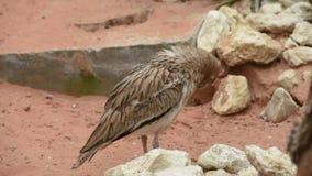 Un capensis spesso macchiato del Burhinus del ginocchio sta e guarda intorno nella sabbia del deserto video d archivio