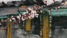 Un cappuccio enorme di neve sul tetto di una casa d'annata nei rami di fioritura della primavera di scalpore del vento di di melo video d archivio
