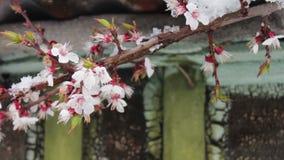 Un cappuccio enorme di neve sul tetto di una casa d'annata nei rami di fioritura della primavera di scalpore del vento di di melo stock footage