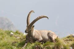 Un Capricorne sur une colline photo stock