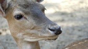 Un capriolo di sguardo piacevole in uno zoo in Ucraina di estate nel slo-Mo video d archivio