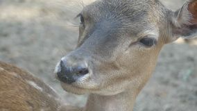 Un capriolo di sguardo tenero in uno zoo in Ucraina nel slo-Mo stock footage