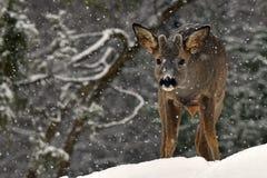 Un capriolo selvaggio, maschio del capreolus del Capreolus in un paesaggio invernale nevoso immagini stock