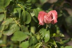 Un capullo de rosa rosado que comienza a abrirse Imagen de archivo libre de regalías
