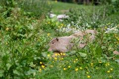 Un Capybara solo dans l'herbe et le bosquet grands photo stock