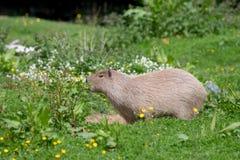 Un Capybara solo dans l'herbe et le bosquet grands image stock