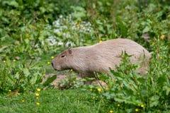 Un Capybara solo dans l'herbe et le bosquet grands photos stock