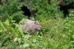 Un Capybara solo dans l'herbe et le bosquet grands photo libre de droits