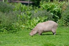 Un Capybara solo frôlant sur l'herbe courte photo stock