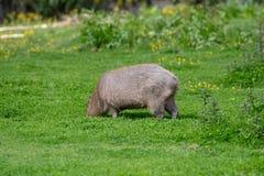 Un Capybara solo fr?lant sur l'herbe courte photos libres de droits