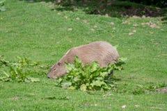 Un Capybara solo fr?lant sur l'herbe courte photos stock