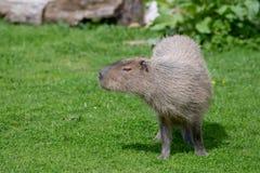Un Capybara solo fr?lant sur l'herbe courte images libres de droits