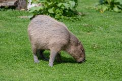 Un Capybara solo fr?lant sur l'herbe courte photo libre de droits