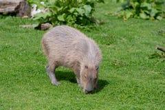 Un Capybara solo fr?lant sur l'herbe courte images stock