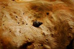 Un caracol de mar en un tronco de árbol naturalmente texturizado imágenes de archivo libres de regalías