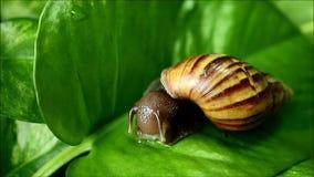 Un caracol marrón de la cáscara de la raya que come el pepino tajado en la hoja verde vibrante almacen de video