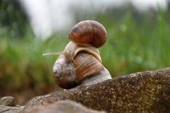 Un caracol que se arrastra en los otros caracoles en el jardín Imagen de archivo libre de regalías