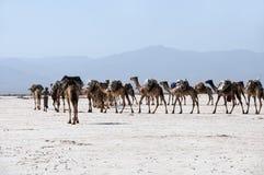 Un caravan del livello ha addomesticato i cammelli su una fermata al deserto bianco di Danakil in Africa di nordest, lontano nel  Fotografia Stock