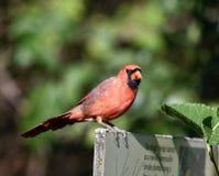 Un cardenal fotos de archivo libres de regalías