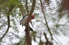 Un cardenal de cresta roja mira a escondidas alrededor de una rama de árbol para una mejor mirada Imagenes de archivo