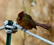 Un cardinal du nord féminin hérissé photographie stock libre de droits