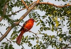 Un cardinal nordique mâle était perché sur un branchement photos stock