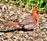 Un cardinal septentrional masculino en una trayectoria foto de archivo