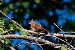 Un cardinale maschio Fotografie Stock