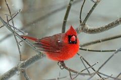 Un cardinale maschio nell'inverno Fotografia Stock