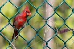 Un cardinale nordico in un recinto Fotografia Stock