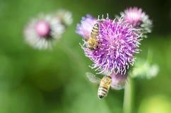 Un cardo de la flor con una abeja Flor hermosa del verano en fondo verde natural Primer Imágenes de archivo libres de regalías