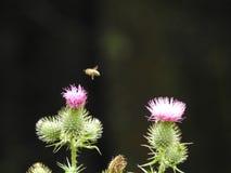 Un cardo rosado y una abeja Foto de archivo