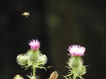 Un cardo rosado y una abeja Imágenes de archivo libres de regalías