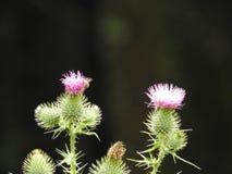 Un cardo rosado y una abeja Fotografía de archivo