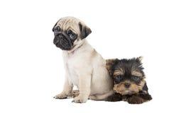 Un carlino e un Yorkshire terrier di due cuccioli Fotografie Stock