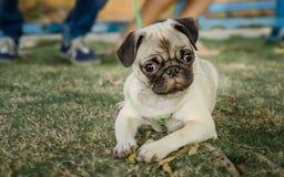 Un carlino o un cane che si siede in un giardino Immagini Stock