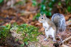Un carolinensis orientale curioso di Gray Squirrel Sciurus Immagini Stock Libere da Diritti
