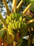 Un casco di banane sull'albero Fotografia Stock Libera da Diritti