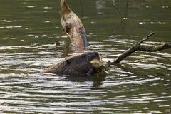 Un castor come las hojas y las ramitas Foto de archivo libre de regalías