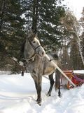 Un cavallino del puledro un giorno di estate sciolto Immagini Stock Libere da Diritti