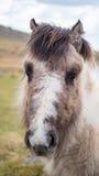 Un cavallino selvaggio Fotografia Stock