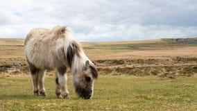 Un cavallino selvaggio che pasce su Dartmoor Immagini Stock Libere da Diritti