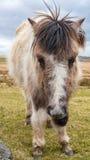 Un cavallino selvaggio di Dartmoor Fotografia Stock