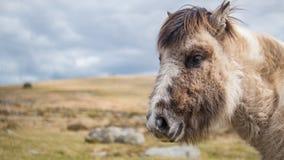 Un cavallino selvaggio di Dartmoor fissa alla macchina fotografica Fotografie Stock
