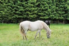 Un cavallo bianco Fotografia Stock
