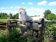 Un cavallo bianco fotografie stock