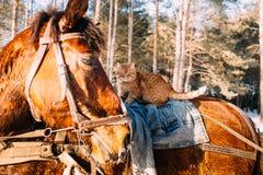 Un cavallo in un cablaggio alla luce solare con un gatto nella sella fotografia stock libera da diritti