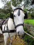 Un cavallo che fissa alla macchina fotografica Fotografie Stock